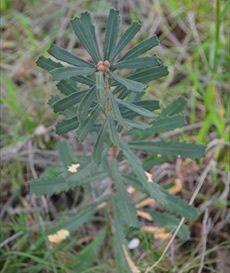Banksia Tree - Pails for Scales Unique Pets