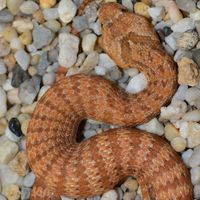 Cammoweal Death Adder - Pails for Scales
