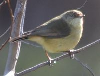 Buff-Rumped Thornbill - Berringa Sanctuary