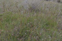 Kangaroo Grass- Berringa Sanctuary