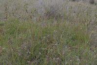 Kangaroo Grass- Berringa Sanctuary