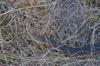 Lowland Copperhead - The Block Berringa.