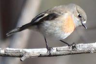 Scarlet Robin hen - Berringa Sanctuary