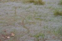 Animal Tracks in grass - Berringa Sanctuary