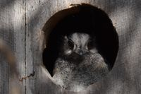 Australian Owlet Nightjar - Berringa Sanctuary