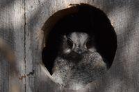 Australian Owlet Nightjar - Berringa Sanctuary