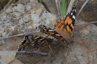 Australian Painted Lady - Berringa Sanctuary