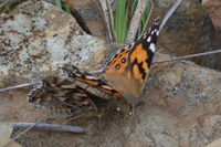 Australian Painted Lady - Berringa Sanctuary