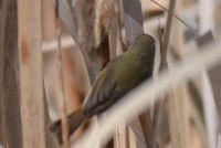 Australian Reed Warbler - Berringa Sanctuary
