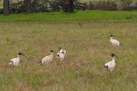 Australian White Ibis - The Block Sanctuary Berringa