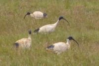 Australian White Ibis - The Block Sanctuary Berringa