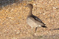 Australian Wood Duck - Berringa Sanctuary