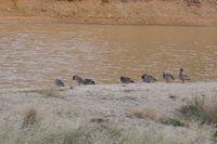 Australian Wood Duck - Berringa Sanctuary