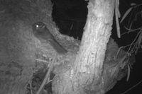 Australian owlet night jar- Berringa