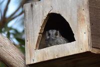 Australian owlet-nightjar The Block Berringa useing one of many nest boxes on the property