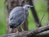 Baby White Faced Heron - They nest along the Moonlight Creek each year. The Block Berringa