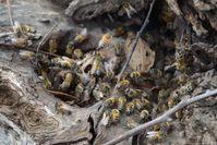 Bees - Berringa Sanctuary
