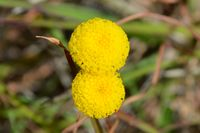 Billy Buttons - The Block Sanctuary Berringa