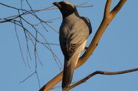 Black Faced Cuckoo Shrike - Berringa Sanctuary
