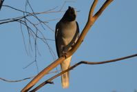 Black Faced Cuckoo Shrike - Berringa Sanctuary