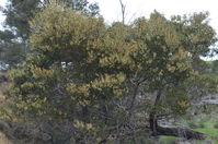 Black Wattle - Berringa Sanctuary