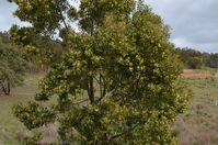 Blackwood Wattle - Berringa Sanctuary