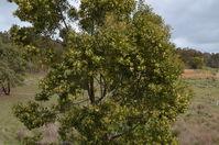 Blackwood Wattle - Berringa Sanctuary