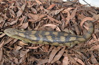 Blotched Blue tongue lizard - Berringa Sanctuary