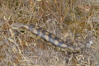 Blotched Blue tongue lizard - Berringa Sanctuary