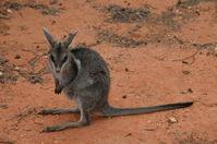 Bridal nail tailed wallaby - Scotia A.W.C