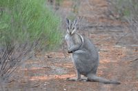 Bridal nail tailed wallaby - Scotia A.W.C