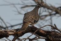 Bronze winged Pigeon - Berringa Sanctuary