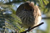 Brown Thornbill - Berringa Sanctuary