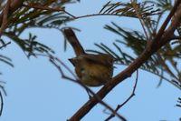 Brown Thornbill - Berringa Sanctuary