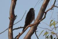 Brown goshawk - Berringa Sanctuary