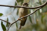 Brown headed honey eater - Berringa Sanctuary