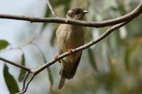 Brown headed honey eater - Berringa Sanctuary