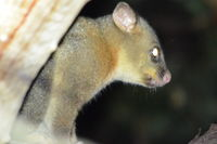 Brush Tail Possum - Berringa Sanctuary