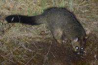 Brush Tail Possum - Berringa Sanctuary