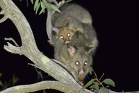 Brush Tail Possum and baby - Berringa Sanctuary