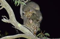 Brush Tail Possum and baby - Berringa Sanctuary