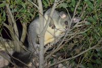 Brush Tailed Possums - The Block Berringa