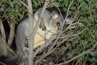 Brush Tailed Possums - The Block Berringa