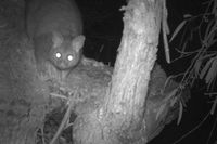Brush Tailed Possum -The Block Berringa