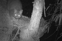 Brush Tailed Possum -The Block Berringa