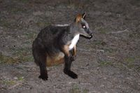 Brushed-tailed Rock-wallaby - Mt Rothwell