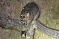 Brushtail Possum - Berringa Sanctuary