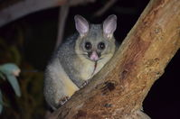 Brushtail Possum - The Block Berringa