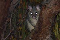 Brushtail Possum - The Block Berringa