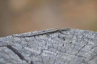 Buchanans snake-eyed skink- Lake Leschenaultia W.A